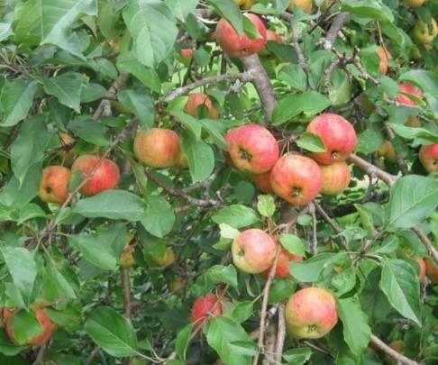 Chestnut Crabapple Tree Blue Hill Wildlife Nursery