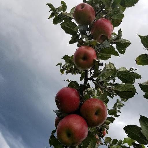Freedom Apple