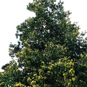 Woodland Chestnut